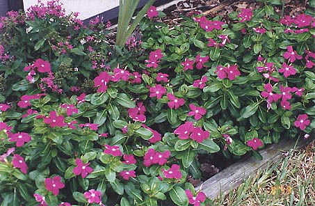 Mimis homepage our florida garden self deadheading no maintenance blooms all year long and plenty of florida native lantanas the common yellow and less common purple mightylinksfo