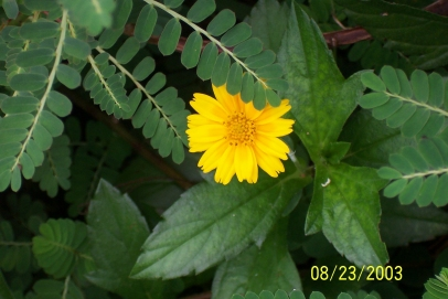 Mimis homepage our florida garden wedeliaflowerg mightylinksfo